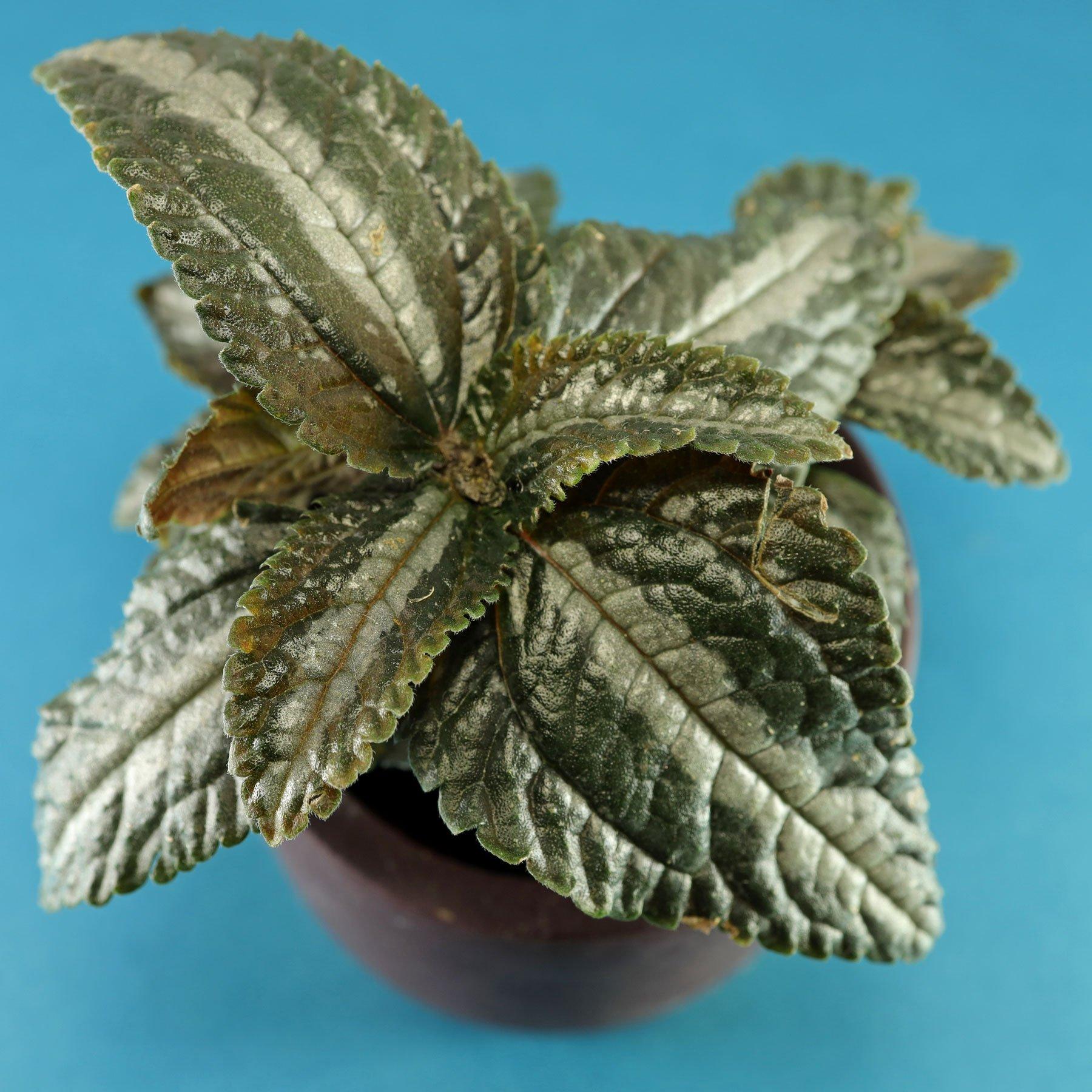 Pilea spruceana Silver Tree